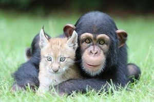 chimpanzees lynx face grass animals baby animals looking at viewer nature