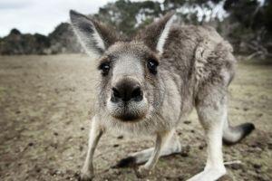 closeup animals kangaroos