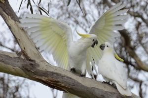 cockatoo birds parrot animals sulphur-crested cockatoo nature