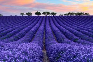 colorful photography nature lavender