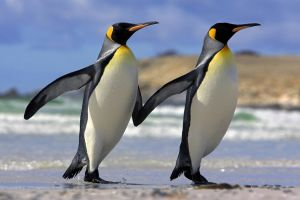 couple sea penguins