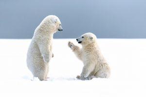 cubs baby animals snow animals polar bears bears