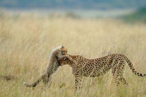 cubs cheetahs animals baby animals