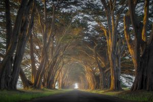 cypress mist nature trees road grass landscape tunnel