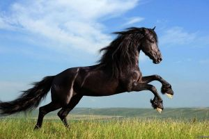 dark horse horse animals