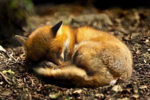 depth of field animals nature forest sleeping fox closeup