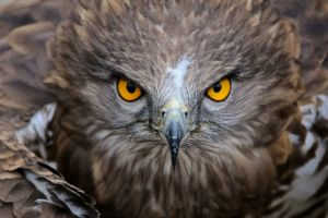 depth of field birds nature animals wings hawk (animal) yellow eyes feathers