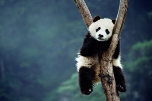 depth of field forest trees sitting panda