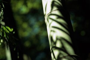 depth of field photography bamboo trees nature plants
