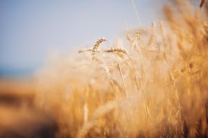 depth of field wheat nature
