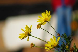 depth of field yellow flowers flowers
