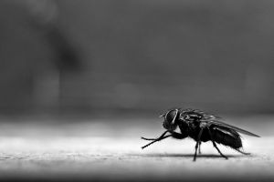 diptera fly insect