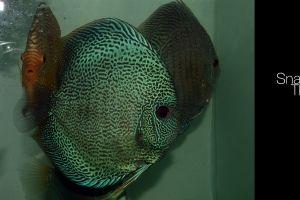 discus fish aquarium fish