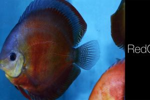 discus fish fish animals