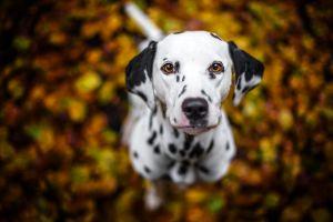 dog looking up animals depth of field dalmatian