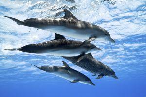 dolphin animals underwater nature