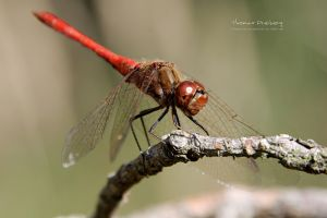 dragonflies nature insect animals
