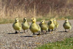 duck animals birds baby animals