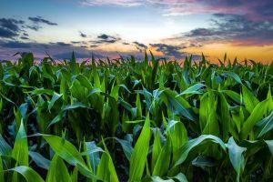 dusk field corn plants