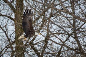 eagle animals birds bald eagle