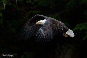 eagle animals photography bald eagle