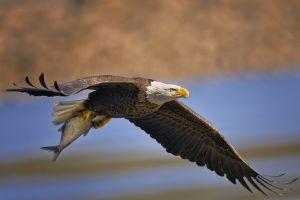 eagle bald eagle animals birds