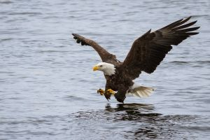 eagle bald eagle birds animals
