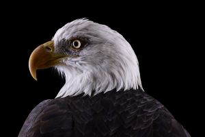 eagle bald eagle birds photography nature simple background animals