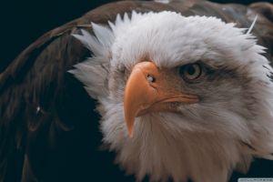 eagle bald eagle freedom birds feathers closeup animals