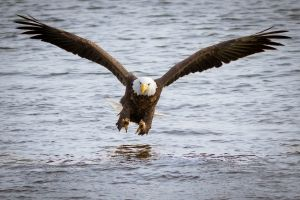 eagle birds bald eagle animals
