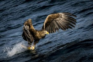 eagle birds hunting water splashes