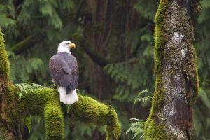 eagle nature bald eagle animals wildlife birds