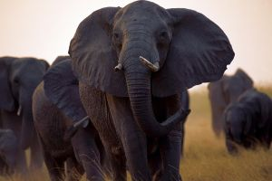 elephant animals wildlife nature
