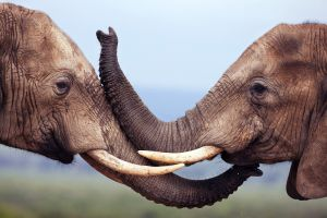 elephant nature animals wildlife
