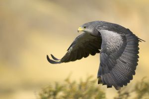 falcons birds wildlife animals bird of prey
