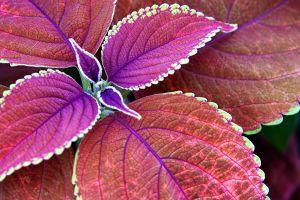 fall coleus leaves purple macro depth of field nature