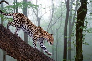 feline wildlife animals nature leopard (animal) big cats mammals