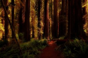 ferns redwood forest nature trees california landscape shadow path