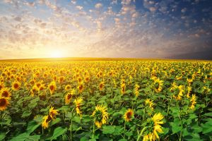 field agro (plants) flowers plants sunflowers