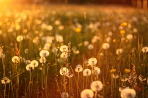 field dandelion flowers plants bokeh