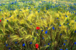 field flowers plants nature