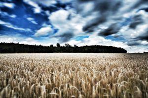 field landscape plants wheat