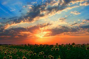 field orange sky sunset skyscape flowers sunflowers