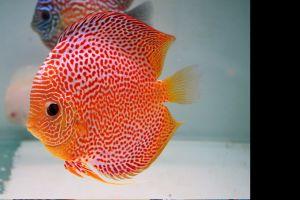 fish aquarium discus fish animals
