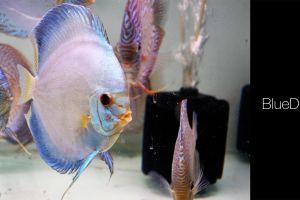 fish discus fish animals