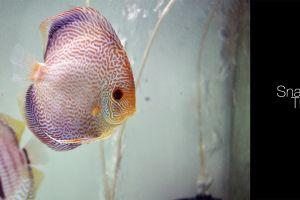 fish discus fish aquarium