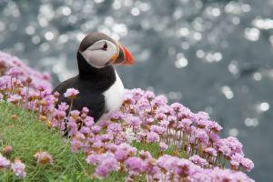 flowers animals puffins birds nature