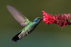 flowers birds hummingbirds flying