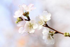 flowers blossom twigs white flowers plants