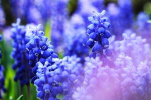 flowers blue nature macro closeup